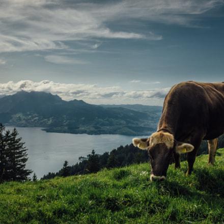 Cow at the Rigi Mount, Switzerland