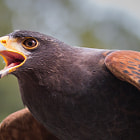A Harris Hawk with left overs on it's beak.