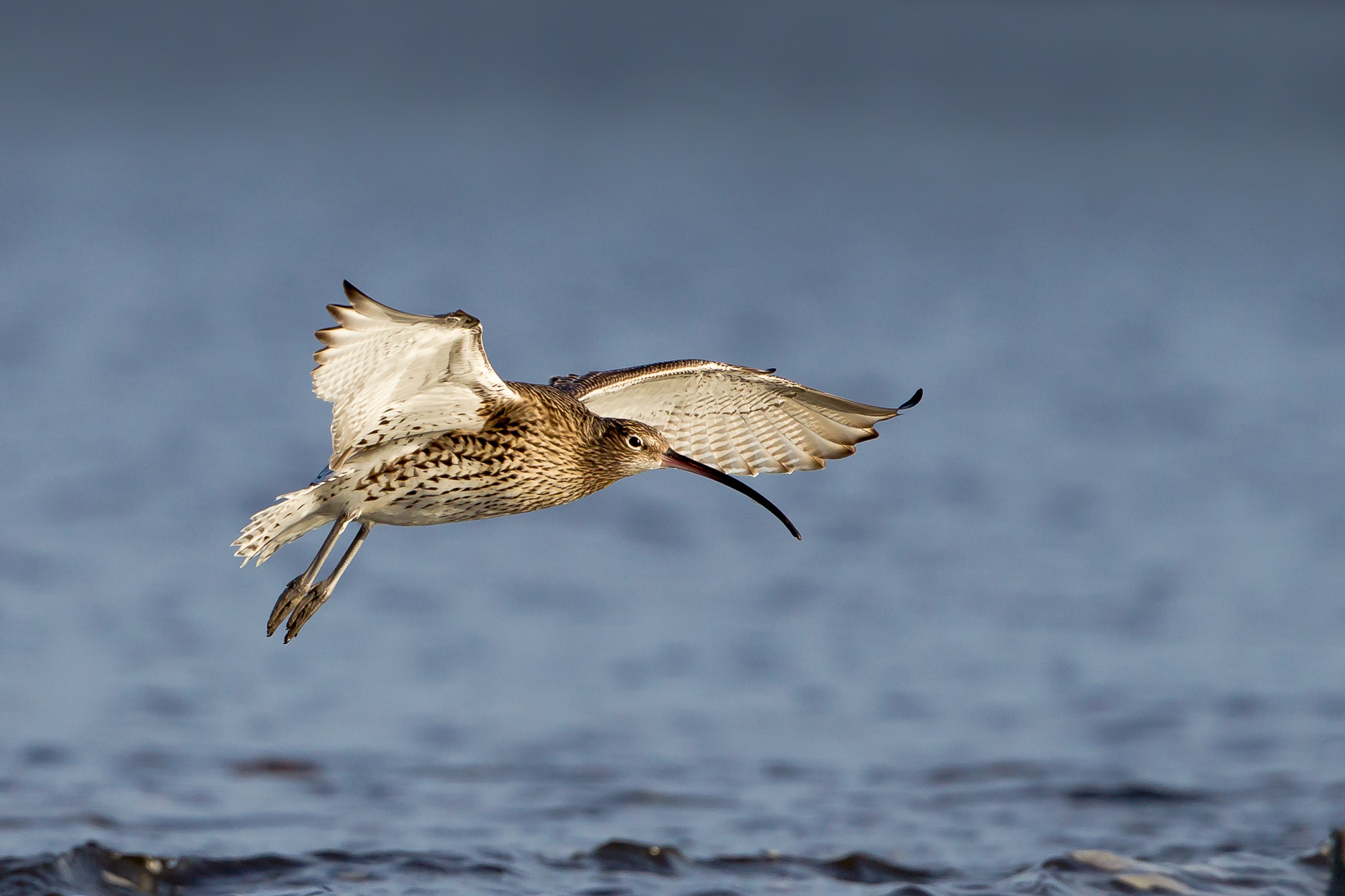 Photograph Curlew in Flight by Mark Medcalf on 500px