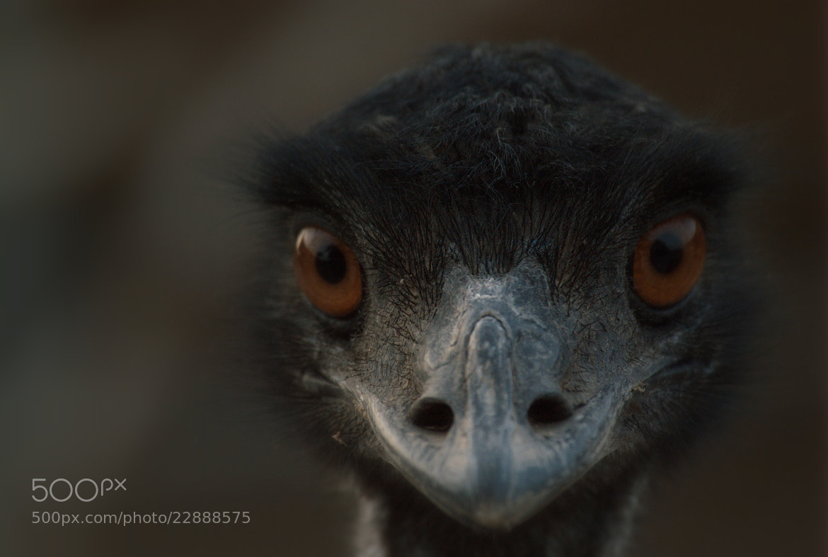 Photograph Emu Ostrich by Ahmed  Aldoseri on 500px