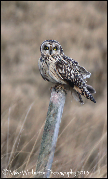 Photograph Short Eared Owl by Mike Warburton on 500px