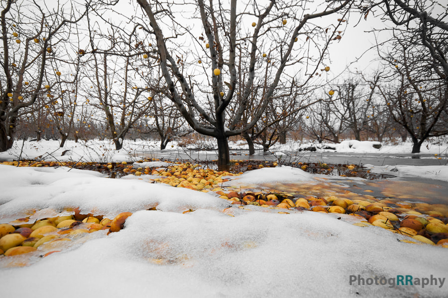 Cold Apples