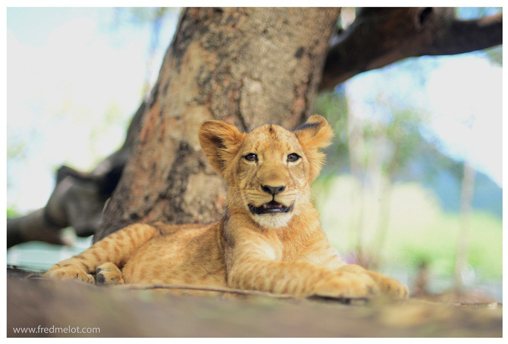 Photograph Little Lion by Fred Melot on 500px