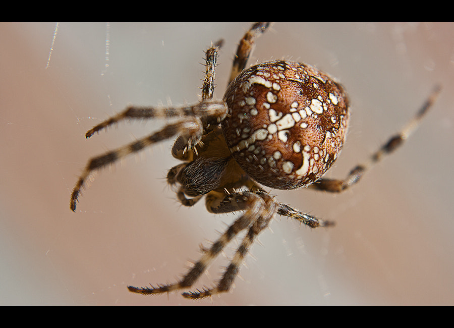 Photograph Spider by David Cornelis on 500px