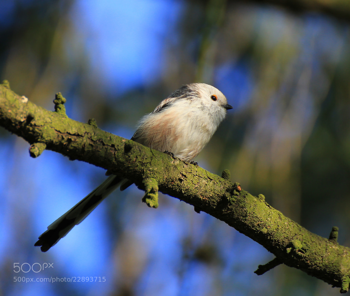 Photograph long tail tit by Ralf Muhl on 500px