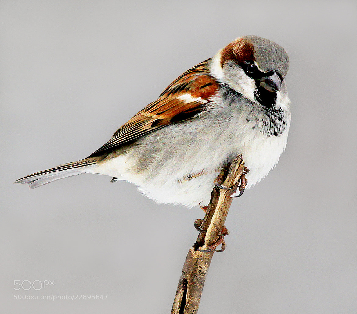 Photograph Sparrow on stick by Brian Masters on 500px