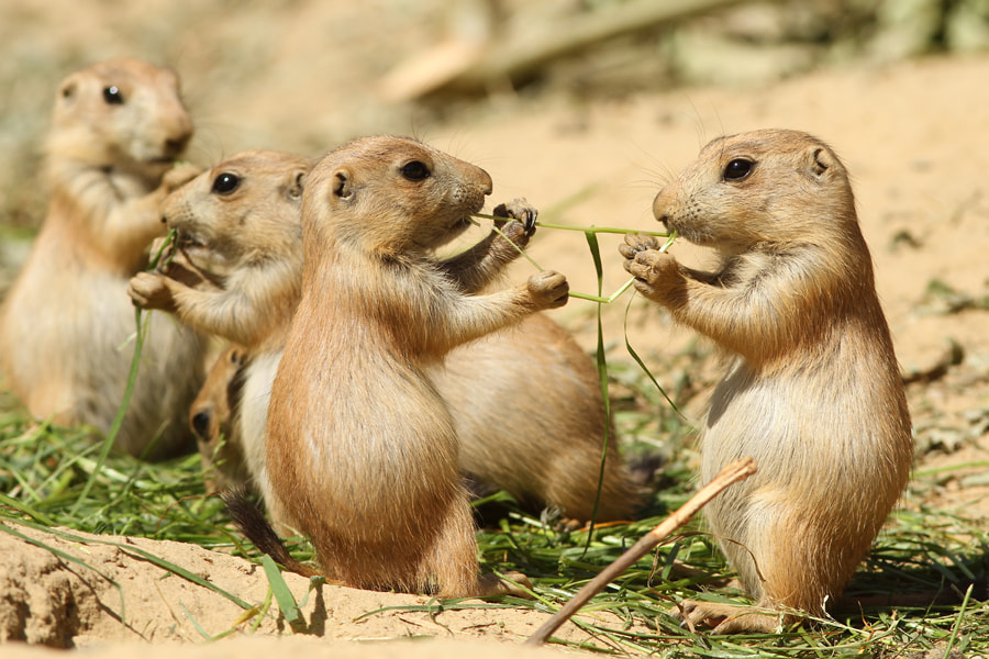 Photograph Two baby prairie dogs sharing food by Henk Bentlage on 500px