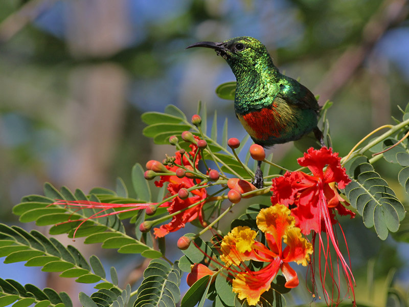 Photograph Beautiful Sunbird by Aat Bender on 500px