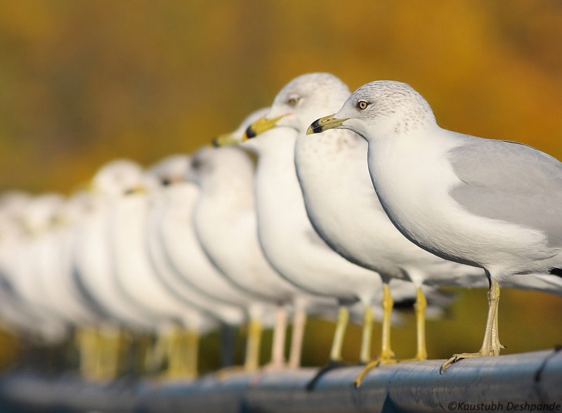 Photograph Gull line-up by Kaustubh Deshpande on 500px