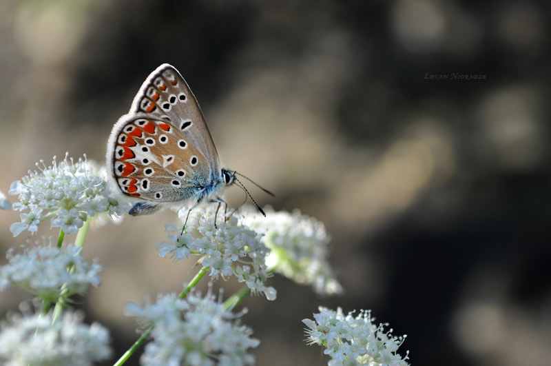 Photograph Butterfly by Levan  Nioradze on 500px