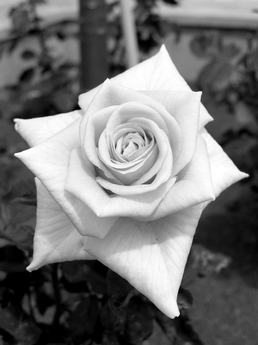 Photograph The Rose by Marion Hartmann on 500px