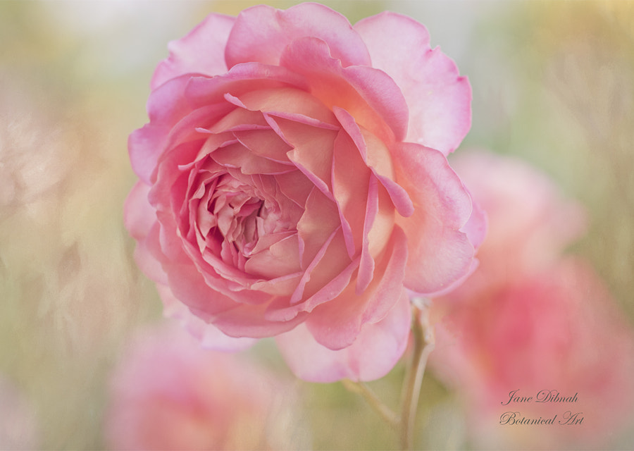 Rose by Jane Dibnah on 500px.com