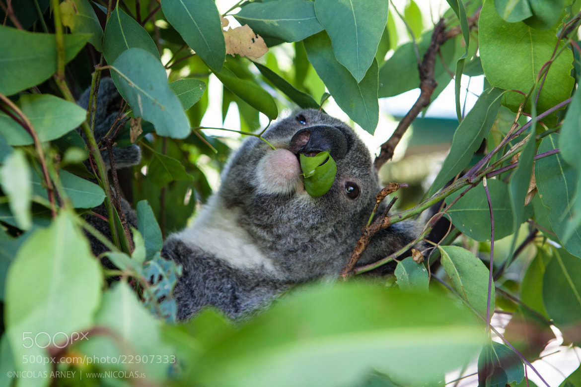Photograph Koala Bear by Nicolas Arney on 500px