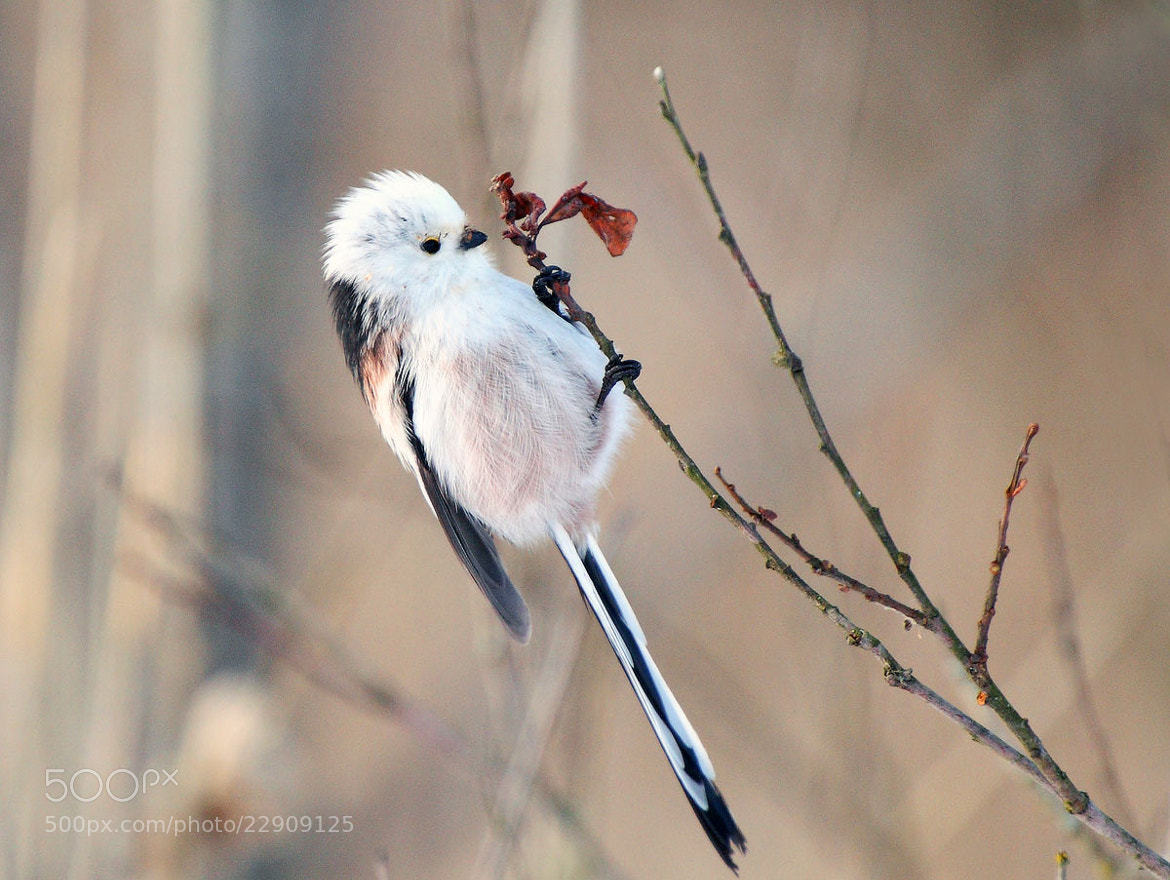 Photograph long-tailed tit by boris zhukov on 500px
