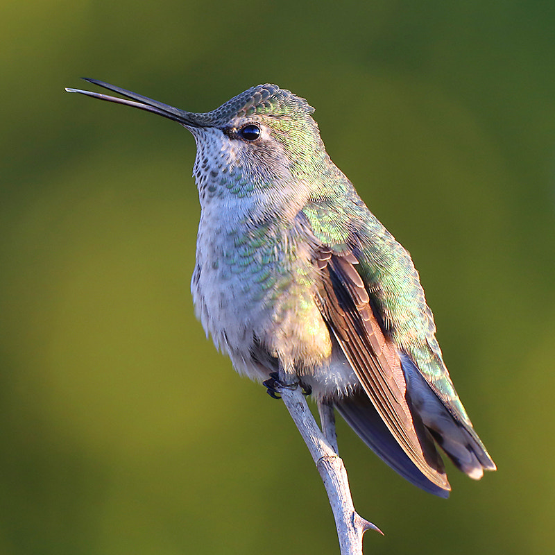 Photograph Singing Anna's Hummingbird by Janine Russell on 500px
