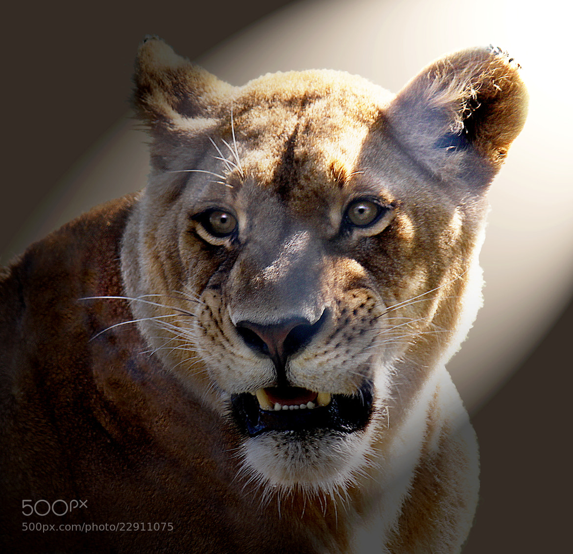 Photograph Lion in the spotlight by Brian Masters on 500px