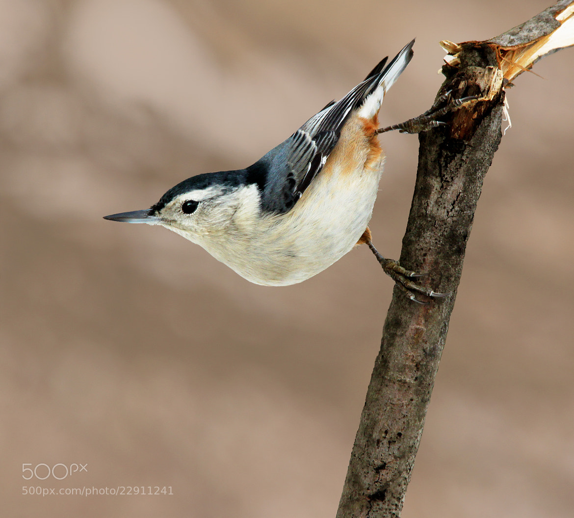 Photograph Nuthatch on branch by Brian Masters on 500px