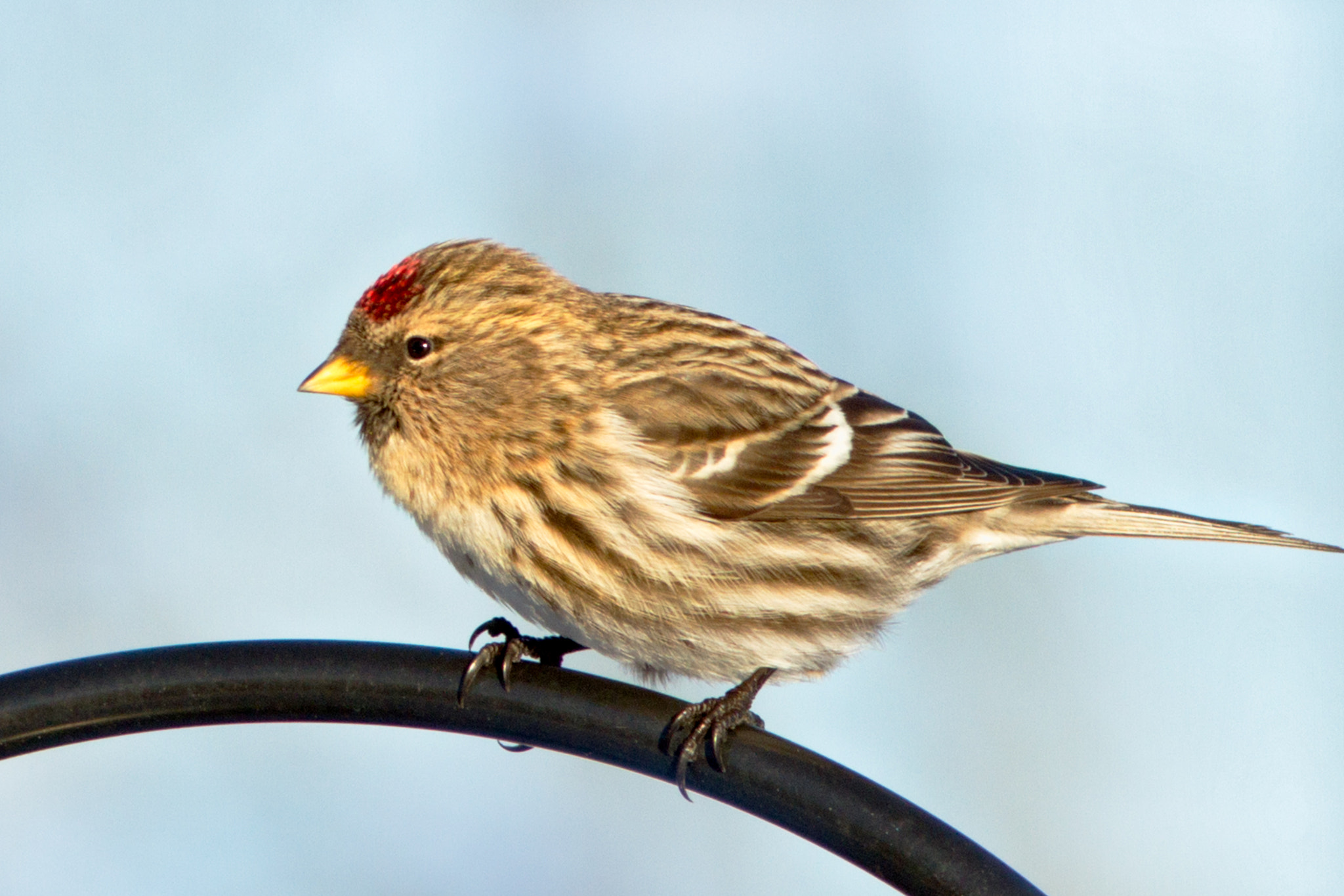 Photograph  Red poll by Anuj  Raj on 500px
