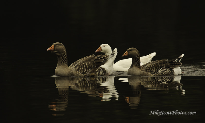 Photograph Threesome Geese by MikeScottPhotos  on 500px