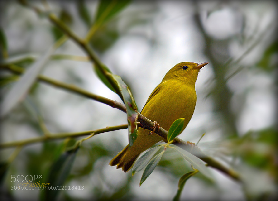 Photograph Yellow Warbler by Reg Faulkner on 500px