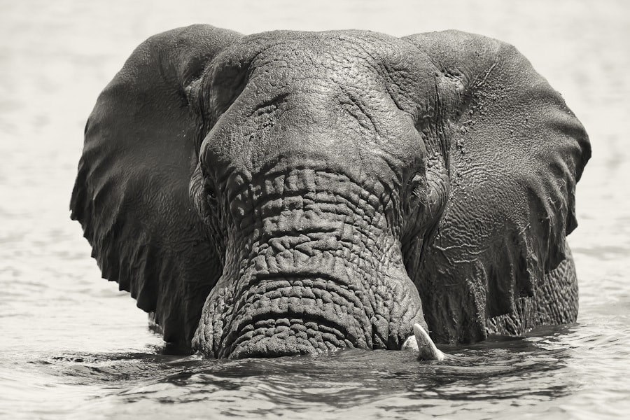Photograph Chobe River Elephant by Mario Moreno on 500px