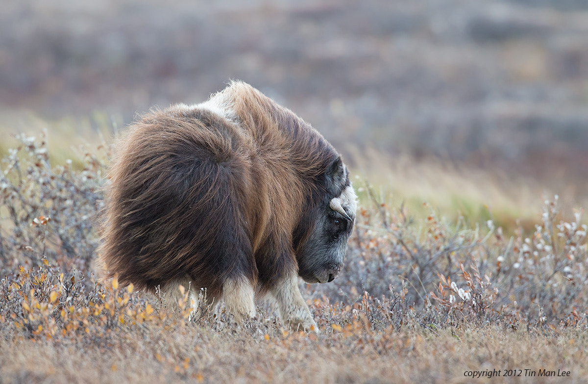 Photograph Muskox in the Wind by Tin Man on 500px