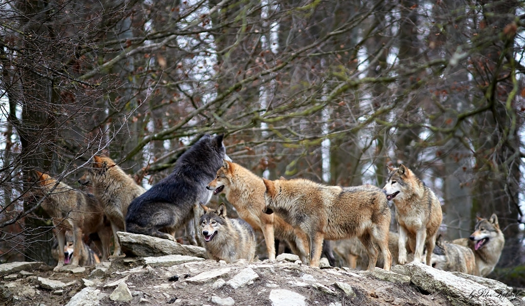Photograph Wolfsrudel 2 by Peter Kölmel on 500px