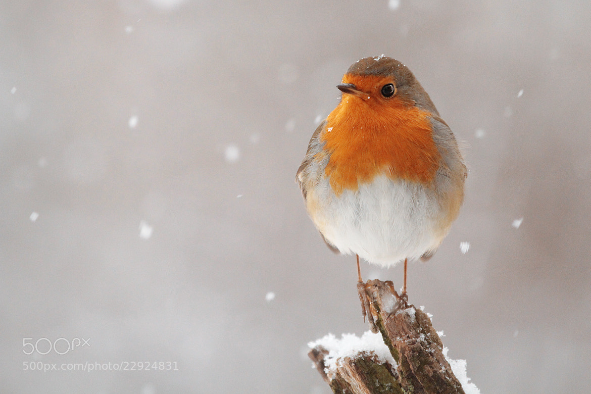 Photograph Winter Robin by Julian Rad on 500px