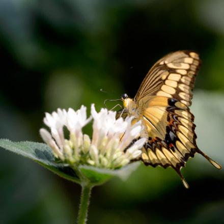 Common swallowtail II