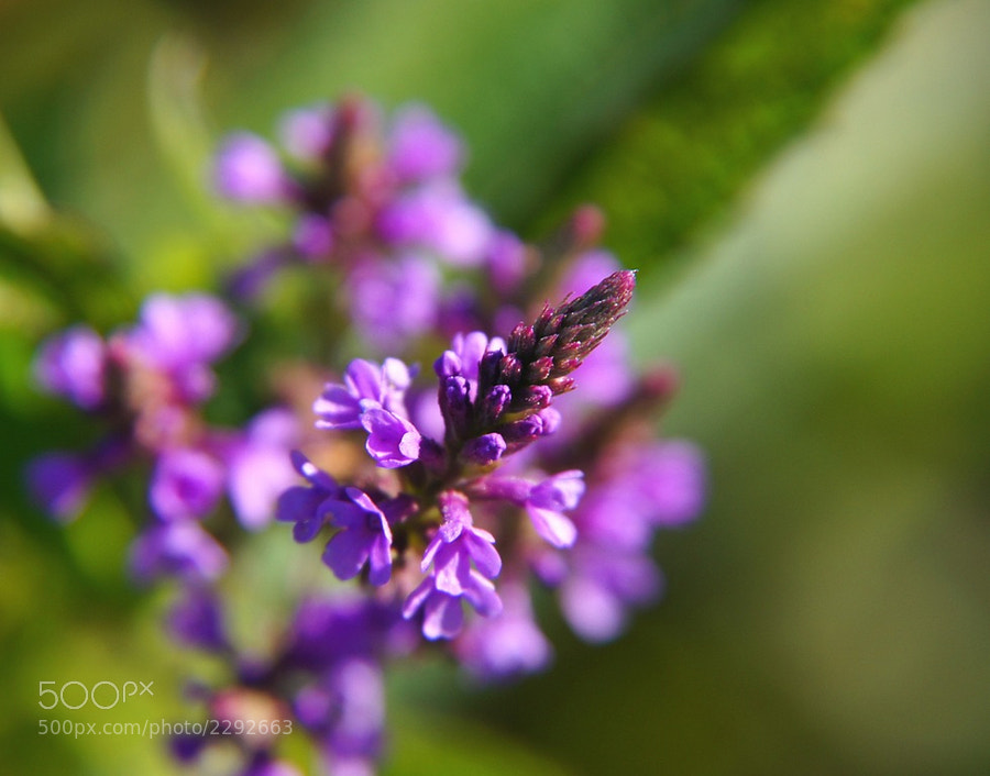 Macro of Vervain Wildflower