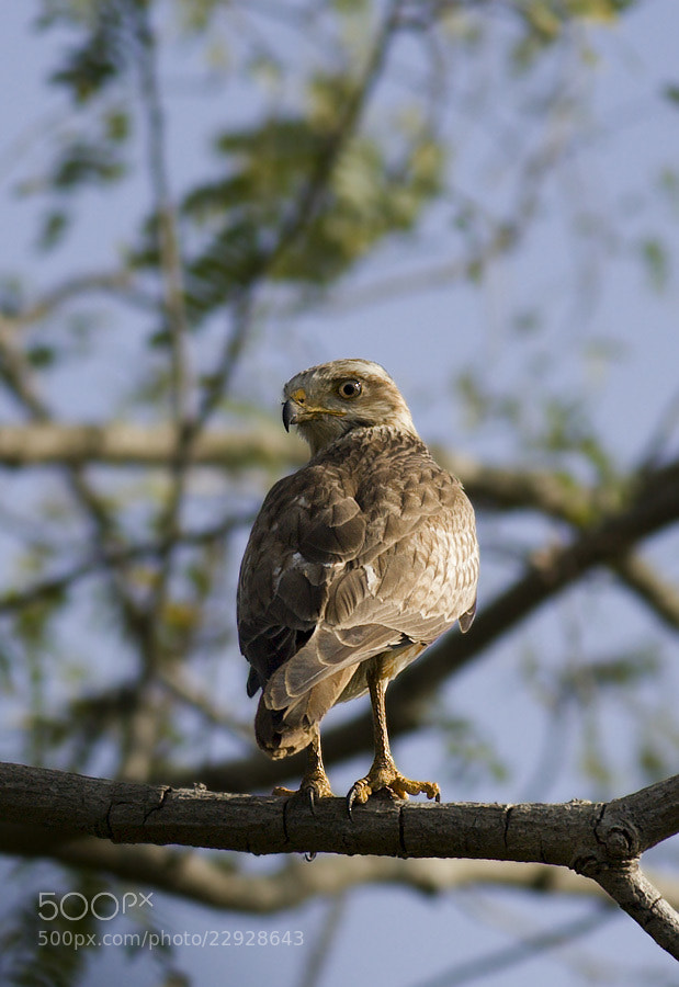 Photograph The Little Hawk by Pankaj Ratna on 500px
