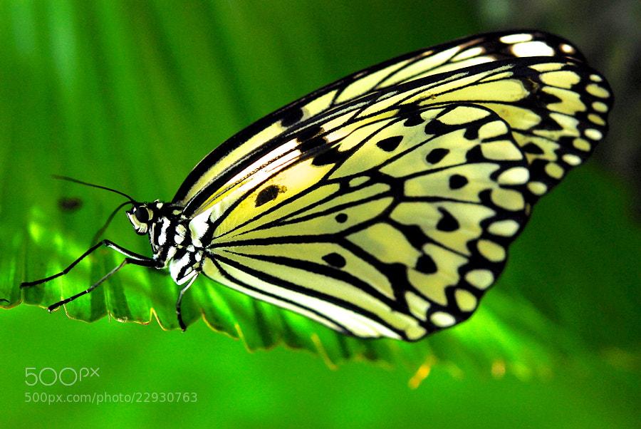 Nymph Butterfly by Heshan  de Mel (heshandemel)) on 500px.com