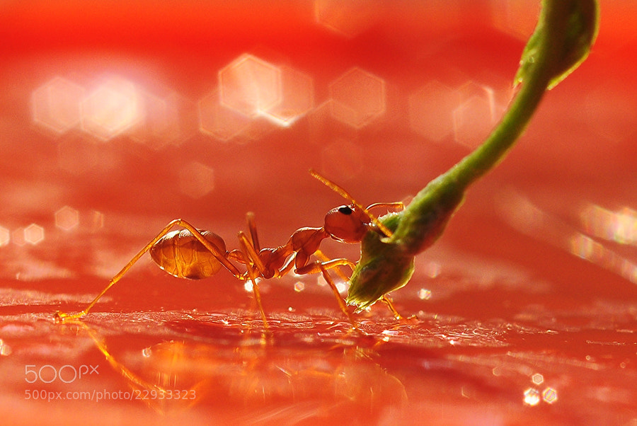 Photograph Red ant.. by Tea Maeklong on 500px