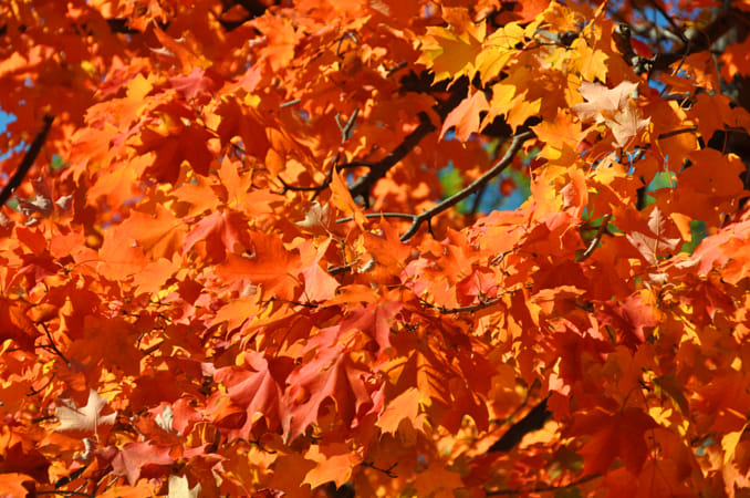 Autumn Leaves in New York