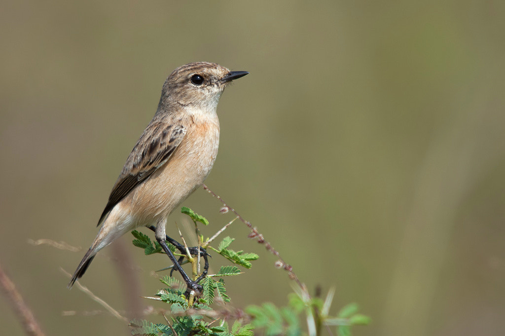 Photograph Siberian Stonechat - Female by Girish Prahalad on 500px