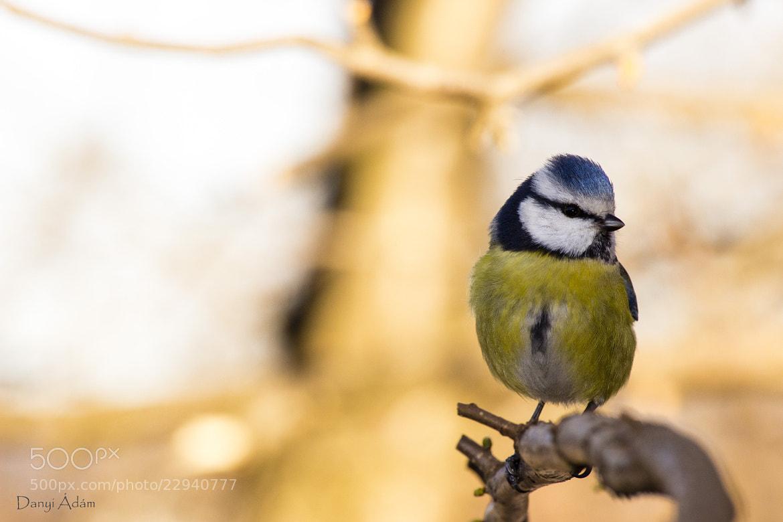Photograph Blue Tit by Ádám Danyi on 500px