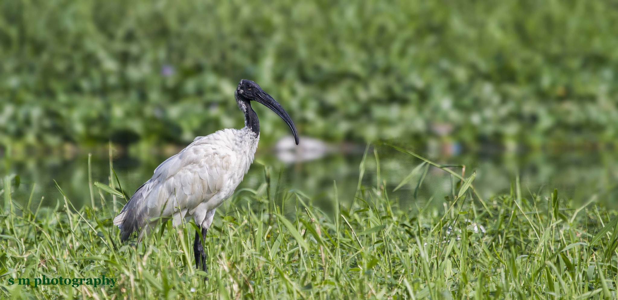 Photograph Black Headed Ibis by Santosh Mulik on 500px