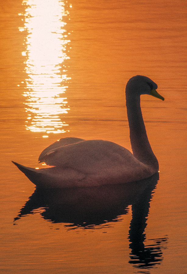 Photograph SWAN AT SUNSET by COLIN MOLYNEUX on 500px
