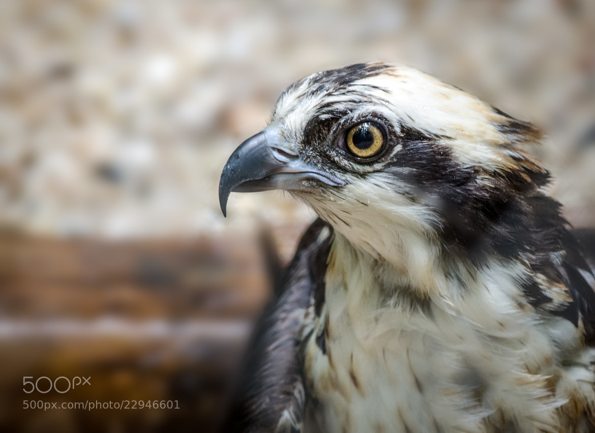 Photograph Osprey by Greg Padgett on 500px
