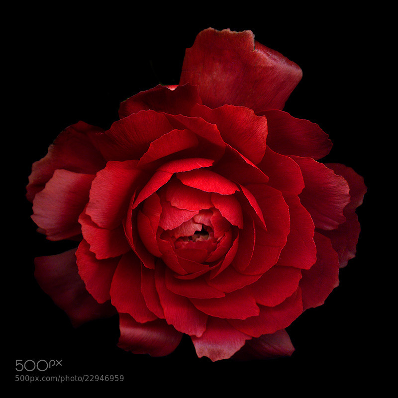 Photograph  A PASSIONATE RED... RANUNCULUS... by Magda Indigo on 500px