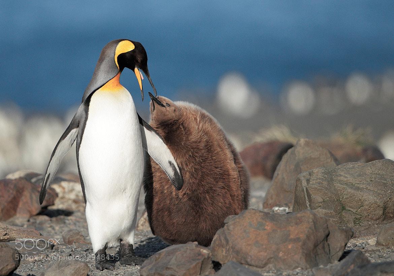 Photograph King Penguin by Mirek Zítek on 500px