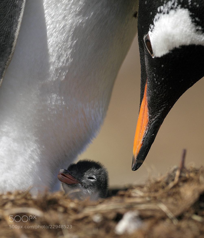 Photograph Gentoo Penguin by Mirek Zítek on 500px