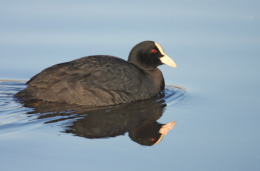 Photograph Eurasian coot by theo dierckx on 500px