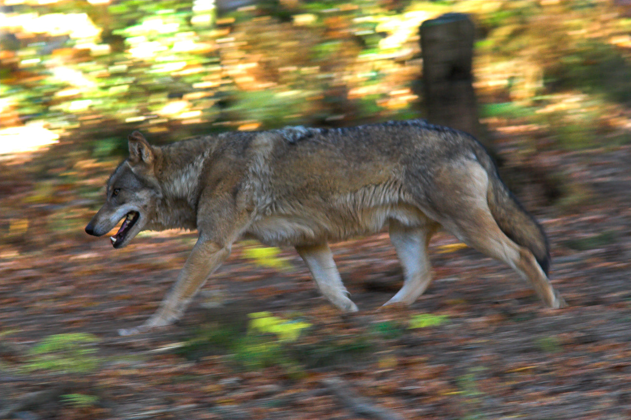 Photograph Wolf running in the forest by Javier Abad on 500px