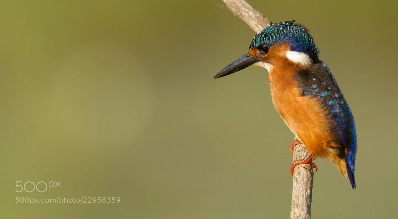 Photograph Malachite Kingfisher by Ian Billenness on 500px