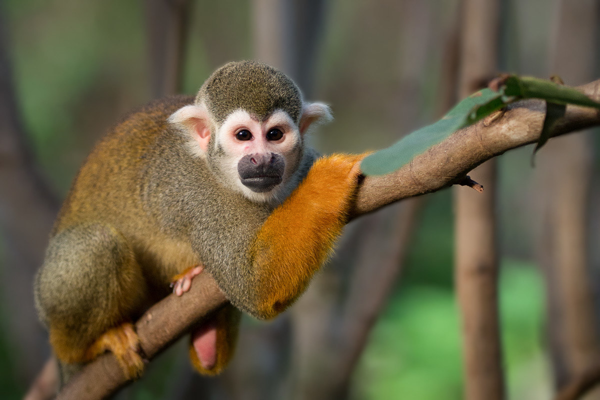 Photograph Squirrel monkey  by Stefan Zinsmeister on 500px