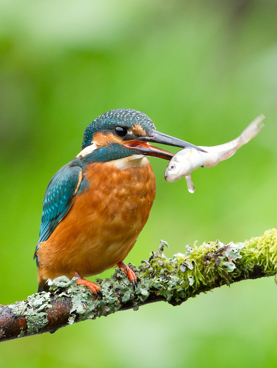 Photograph Common Kingfisher by Ian Billenness on 500px