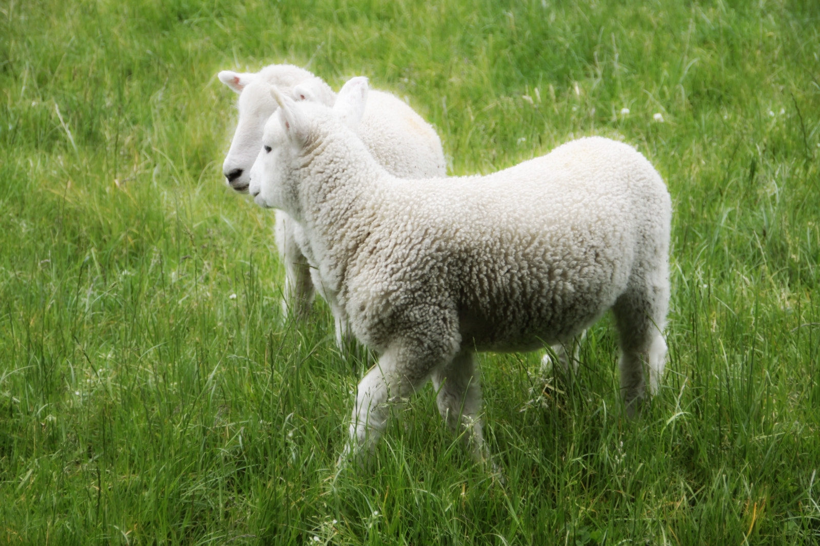 Photograph Two Playful Lambs by Carolyn Ford on 500px