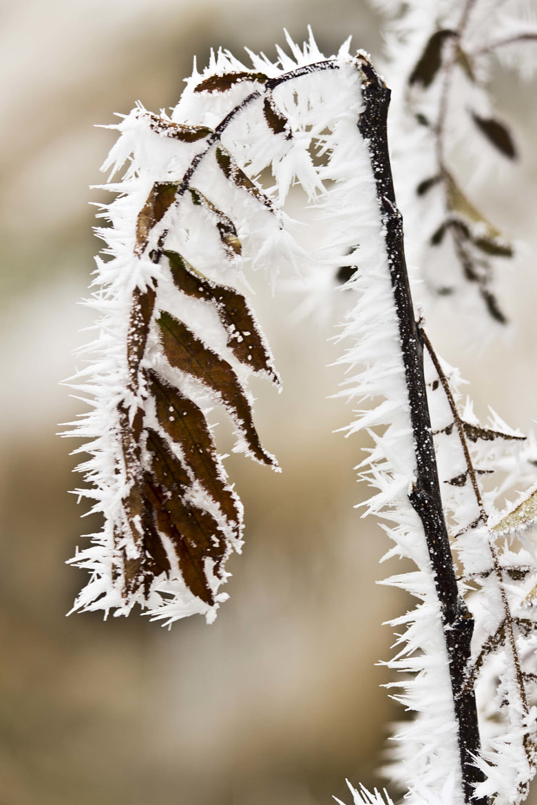 Photograph Frosty Twig by Robert McAllister on 500px