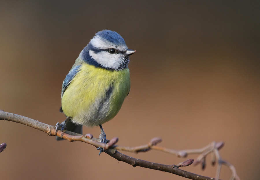 Photograph blue tit by theo dierckx on 500px